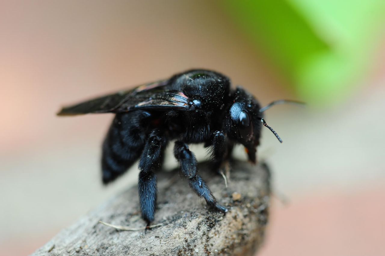 carpenter bee: one of the wood-destroying insects
